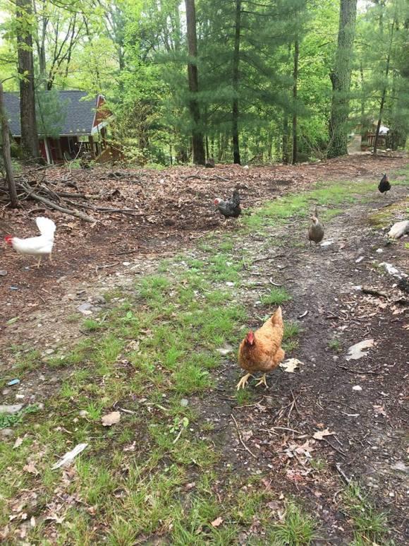 chicken-hike