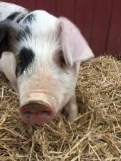 pig-selfie