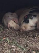 pig-snuggle