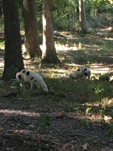 pigs-in-the-woods