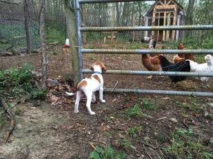 ripley-loves-rounding-the-chickens-back-to-the-coop-each-night