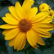 yellow-flower